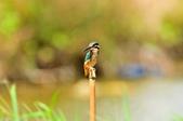 翠鳥  Common Kingfisher       :DSC_6022.JPG