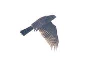 日本松雀鷹Japanese Lesser Sparrow Hawk :DSC_9190.JPG