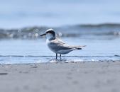 小燕鷗  Little Tern  :DSC_4326.JPG