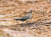 燕鴴 Large Indian Pratincole :DSC_2559.JPG