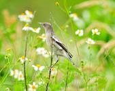 灰背椋鳥  Gray-backed Starling :DSC_6900.JPG