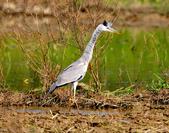 蒼鷺 Grey Heron     :DSC_5769.JPG