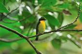 黃眉黃鶲Narcissus Flycatcher :DSC_0646.JPG