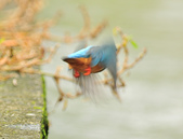 翠鳥  Common Kingfisher  :DSC_8510.JPG