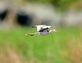 水雉Pheasant-tailed Jacana :DSC_8918.JPG