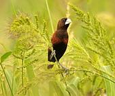 黑頭文鳥:DSC_5215.JPG