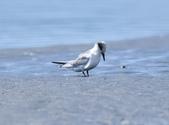 小燕鷗  Little Tern  :DSC_4348.JPG
