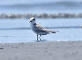小燕鷗  Little Tern  :DSC_4330.JPG
