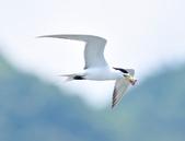 鳳頭燕鷗  Greater Crested Tern :DSC_9006.JPG