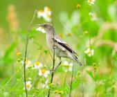 灰背椋鳥  Gray-backed Starling :DSC_6905.JPG