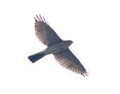 日本松雀鷹Japanese Lesser Sparrow Hawk :DSC_9187.JPG