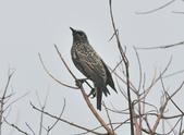 歐洲椋鳥Common Starling  :DSC_9027.JPG