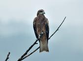 老鷹   Black kite :DSC_1408.JPG