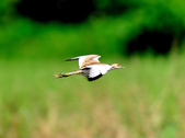 水雉Pheasant-tailed Jacana :DSC_8920.JPG