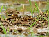 金翅雀  Oriental Greenfinch :DSC_0489.JPG