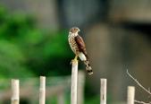 松雀鷹Besra sparrow hawk :DSC_2050.JPG