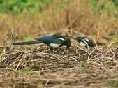喜鵲 Chinese Magpie          :DSC_1379.JPG