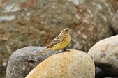 金鵐 Yellow-breasted Bunting  :DSC_7208.JPG