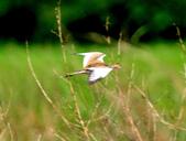 水雉Pheasant-tailed Jacana :DSC_8922.JPG
