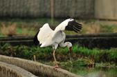 白鶴  Siberian Crane :DSC_0054.JPG