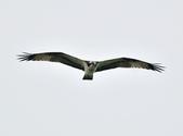 魚鷹 Osprey      :DSC_0266.JPG