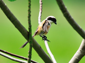 棕背伯勞 Black-headed Shrike   :DSC_3304.JPG