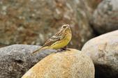 金鵐 Yellow-breasted Bunting  :DSC_7210.JPG