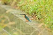 翠鳥  Common Kingfisher  :DSC_8511.JPG