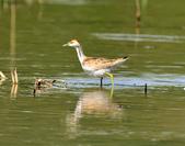 水雉Pheasant-tailed Jacana :DSC_8993.JPG