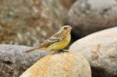 金鵐 Yellow-breasted Bunting  :DSC_7225.JPG