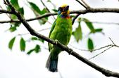 五色鳥  Muller's Barbet   :DSC_3669.JPG