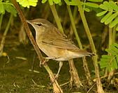 北蝗鶯:DSC_6970.JPG