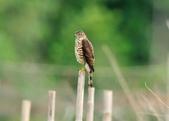 松雀鷹Besra sparrow hawk :DSC_2074.JPG