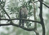 北雀鷹  Northern Sparrow Hawk :DSC_1472.JPG