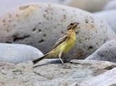 金鵐 Yellow-breasted Bunting  :DSC_6790.JPG