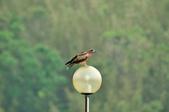 老鷹   Black kite      :DSC_4125.JPG
