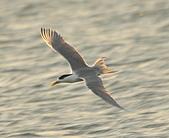 鳳頭燕鷗:DSC_6738.JPG