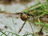 金翅雀  Oriental Greenfinch :DSC_0540.JPG