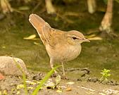 北蝗鶯:DSC_6974.JPG