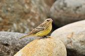金鵐 Yellow-breasted Bunting  :DSC_7224.JPG