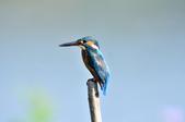 翠鳥  Common Kingfisher  :DSC_2455.JPG
