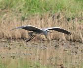蒼鷺 Grey Heron     :DSC_5704.JPG