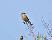 黑喉鴝Common Stonechat  :DSC_5949.JPG