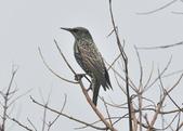 歐洲椋鳥Common Starling  :DSC_9032.JPG