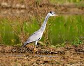 蒼鷺 Grey Heron     :DSC_5770.JPG