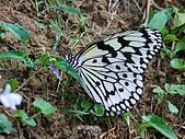 動物寫真:大白斑蝶.JPG
