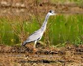 蒼鷺 Grey Heron     :DSC_5771.JPG