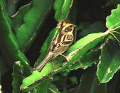 黃喉鵐Yellow-throated Bunting :DSC_9968.JPG