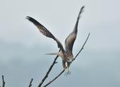 老鷹   Black kite :DSC_1417.JPG