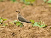 燕鴴 Large Indian Pratincole :DSC_2585.JPG